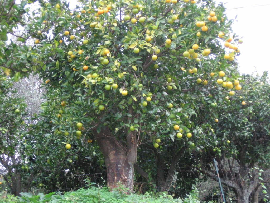 pianta di arancio secolare